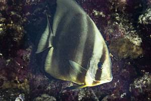 Orbicular batfish - Platax orbicularis