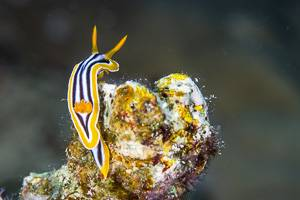 Doris pyjama - Chromodoris quadricolor