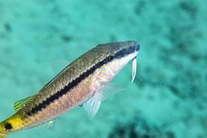 Red Sea goatfish - Parupeneus forsskali