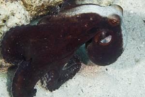 Common Octopus - Octopus cyanea