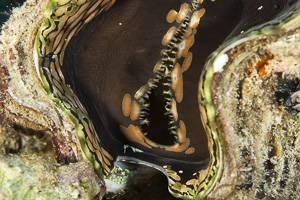 Giant Clam - Tridacna gigas