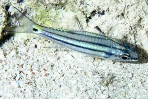 Apogon a cinq lignes - Cheilodipterus quinquelineatus