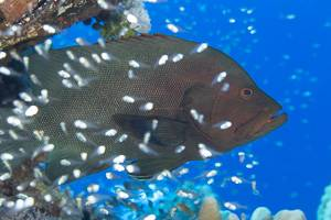 Red-flushed Cod - Aethaloperca rogaa