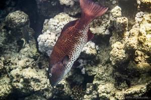 Roving coralgrouper - Plectropomus pessuliferus