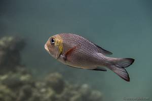 Big-eye bream - Monotaxis grandoculis