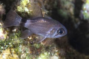 Ringtail cardinalfish - Nectamia annularis