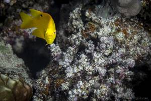 Zitronengelbe Demoiselle - Pomacentrus sulfureus