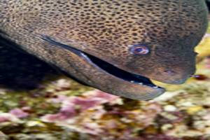 Giant moray - Gymnothorax javanicus
