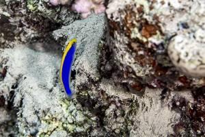 Sunrise dottyback - Pseudochromis flavivertex