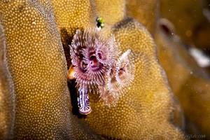 Weihnachtsbaumwurm - Spirobranchus giganteus