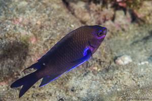 Demoiselle bleue - Abudefduf luridus