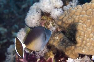 Rotmeer Blaubrustdrücker - Sufflamen albicaudatum