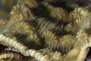 Corail -