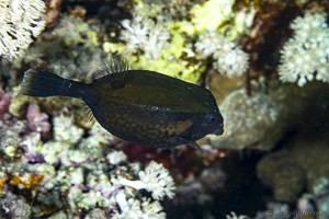 Bluetail trunkfish - Ostracion cyanurus
