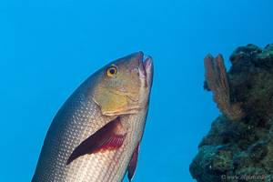 Red Snapper - Lutjanus bohar