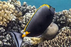 Elegant Unicornfish - Naso elegans