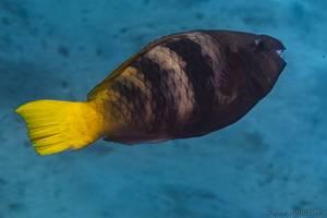 Redfin Parrotfish - Sparisoma rubripinne