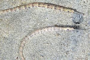 Netz Seenadel - Corythoichthys flavofasciatus