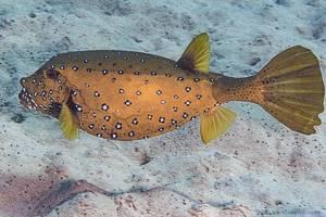 Yellow boxfish - Ostracion cubicus
