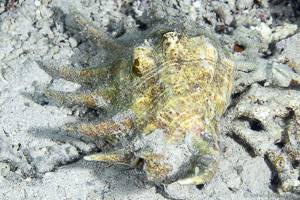Common spider conch - Lambis lambis