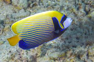 Emperor Angelfish - Pomacanthus imperator