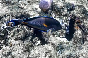 Arabischer Doktorfisch - Acanthurus sohal