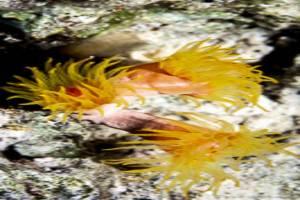 California cup coral - Dendrophyllia sp