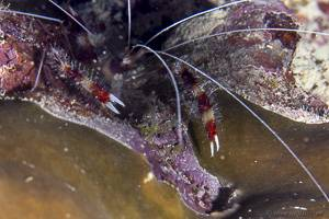 Banded Coral Shrimp - Stenopus hispidus