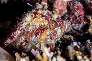 Anglerfish sp - Antenarius sp