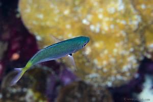 Yellowsaddle goatfish - Parupeneus cyclostomus