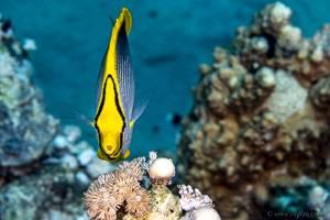 Blackback butterflyfish - Chaetodon melannotus