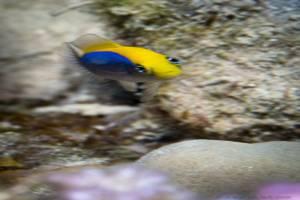 Gelbrücken Zwergbarsch - Pseudochromis flavivertex