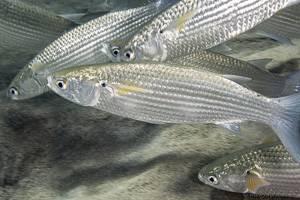 Stumpfmaul Meeräsche - Crenimugil crenilabis