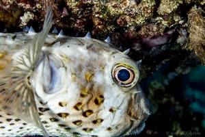Yellowspotted Burrfish - Cyclichthys spilostylus