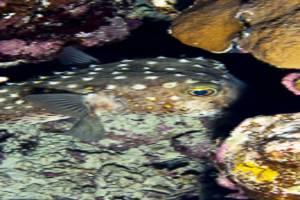 Gelbflecken Igelfisch - Cyclichthys spilostylus