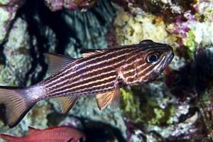 - Cheilodipterus macrodon