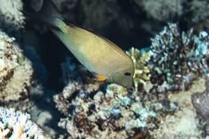 Striated surgeonfish - Ctenochaetus striatus