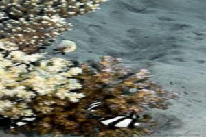 Whitetail dascyllus,Marginate dascyllus - Dascyllus marginatus,Dascyllus aruanus