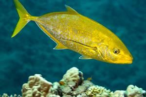 Vandervekeni Schleimfisch - Carangoides bajad