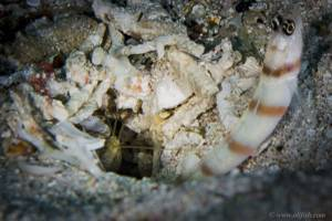 Gobie de steinitz - Amblyeleotris steinitzi