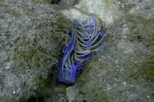 Mediterranean snakelocks anemone - Anemonia viridis