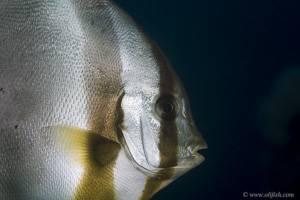 Dusky batfish - Platax pinnatus