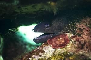Mediterranean moray - Muraena helena