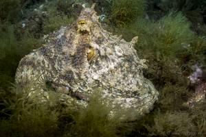 Gemeiner Krake - Octopus Vulgaris
