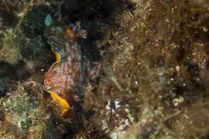 Leathery Seaslug - Platydoris argo