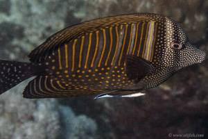 Red Sea Sailfin Tang - Zebrasoma desjardinii