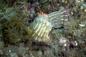 Vandervekeni Schleimfisch - Dardanus Calidus