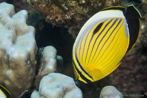 Red Sea melon butterflyfish - Chaetodon austriacus