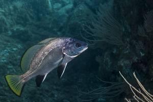Rabenfish - Sciaena umbra