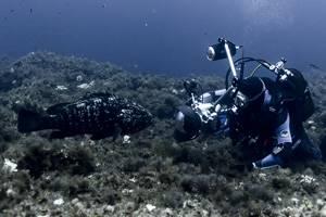 Dusky grouper -